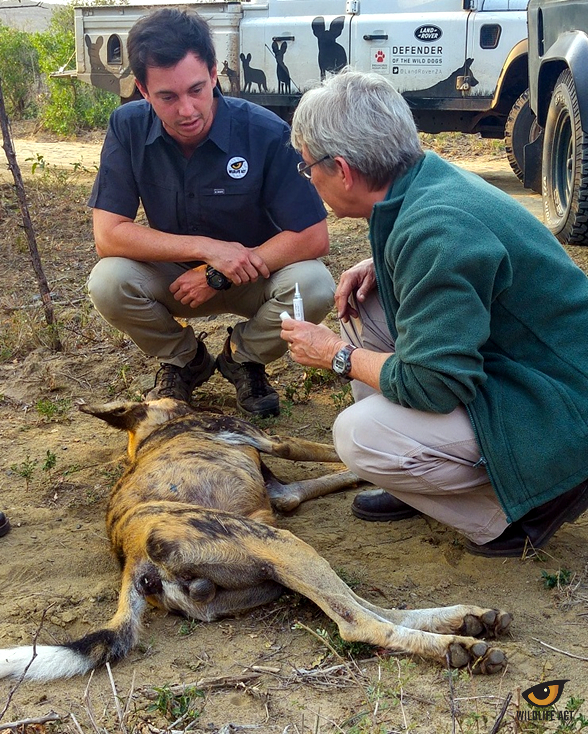 Inoculating one of the adult males of Dela's Pack. Left: Cole du Plessis (Wildlife ACT) and Dr. Birgit Eggers (Ezemvelo KZN Wildlife)