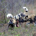 Wild Dog Predator Call Up on Tembe