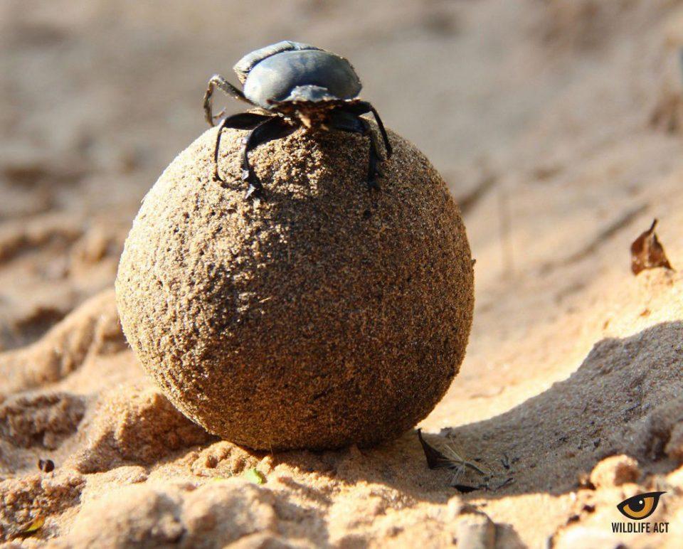 Dani on Dung Beetles