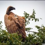 White-backed Vulture wearing GPS backpack.