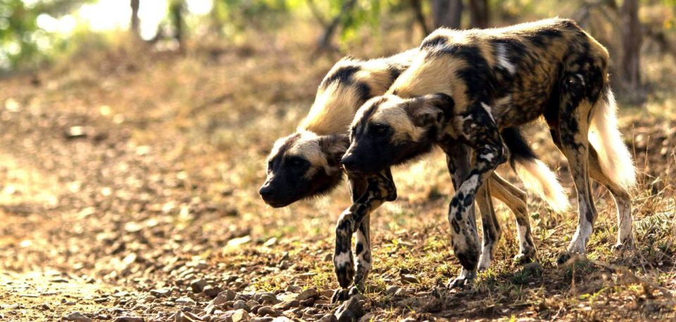 Wild Dogs Hunting - World Wildlife Day 2017