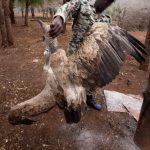 Vulture Crisis Pippa Orpen 2