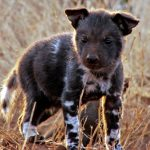 Wild Dog pup. Photo by Bronwen Kelly