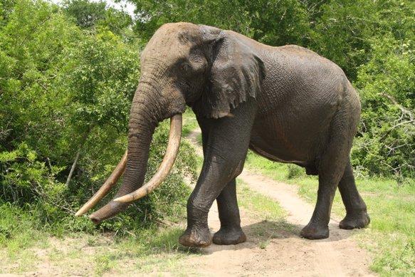 Tembe biggest tusker Isilo