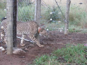 Two new cheetah from Limpopo released at Mkhuze