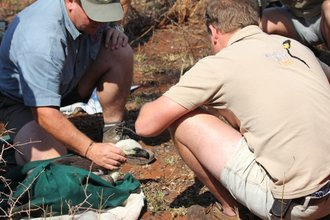 Vulture tagging 2011