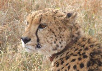 Cheetah update: New Mkhuze females doing well