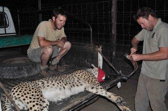 Mkuze cheetah diary April 2012