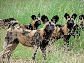Tembe Wild Dog reintroduction