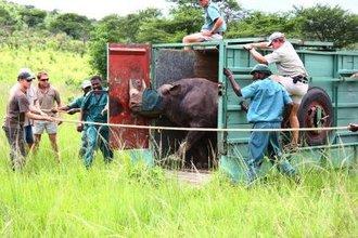 Black Rhino released back into Hluhluwe-iMfolozi Park (HiP).