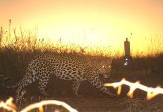 Leopard Census update - Hluhluwe-iMfolozi Park