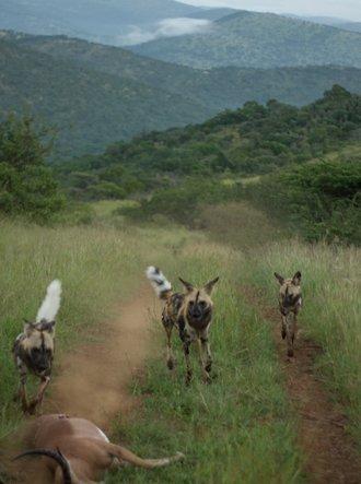 """Wild Dog Diaries"" - by Brendan Whittington-Jones (EWT)"