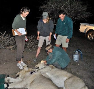 Wildlife volunteers assist with a Lion call-up: 4 days of action at Tembe