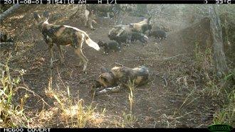 New Wild Dog puppies on Mkhuze Game Reserve