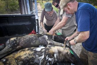 Wildlife ACT Volunteers assist in African Wild Dog relocation