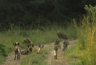 Tembe Wild Dog Release - Update #2