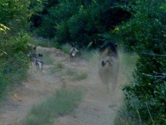 Tembe Wild Dog Release - Update #4