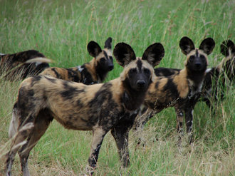 Jan - May 2012: African Painted Dog update