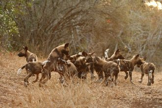 Wild Dog puppies on 3 Reserves!