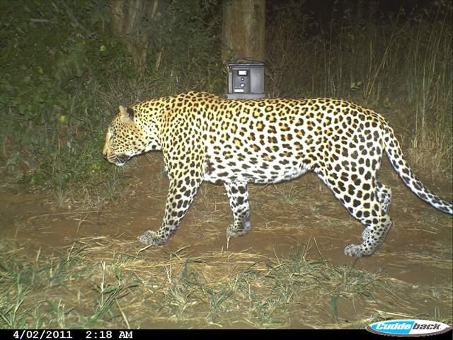 Leopard: camera trap image