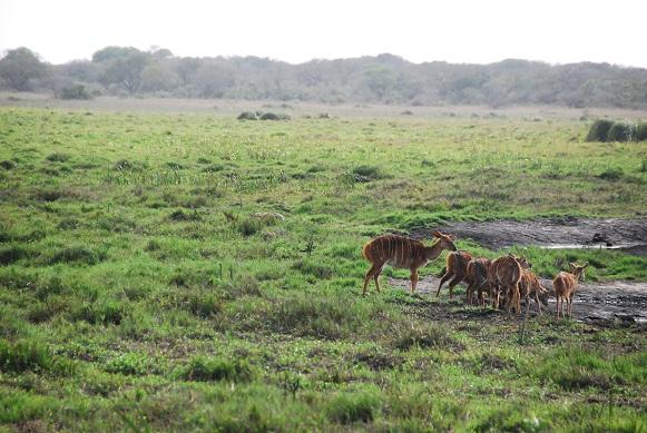 Nyala approaching the dam