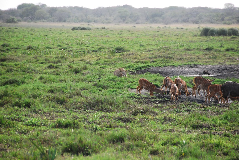 Lions stalks prey.