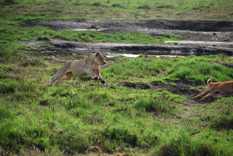Lioness hunting an antelope.