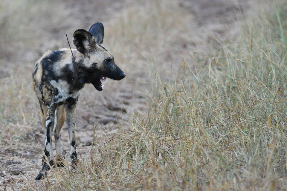 A Wild Dog on Thanda Provate Game Reserve with a VHF collar.