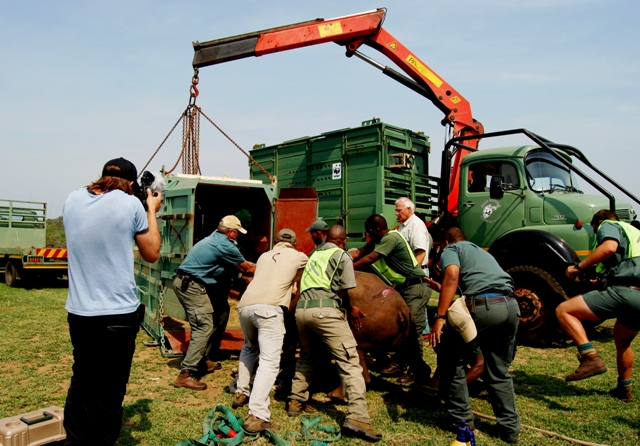 A black rhino gets loaded into a transport truck - Black Rhino Range Expansion Project