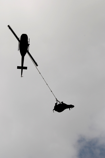 A flying black rhino airlifted to a new home.