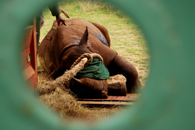 A darted black rhino darted and waiting to be released into its new home - Black Rhino Range Expansion Project