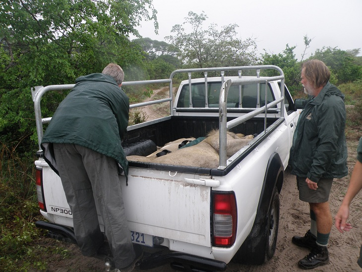 The Tembe lions, once darted, are transported to the boma.