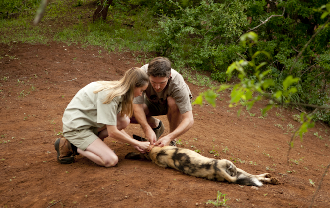 Collaring a Wild Dog on Thanda Private Game Reserve.