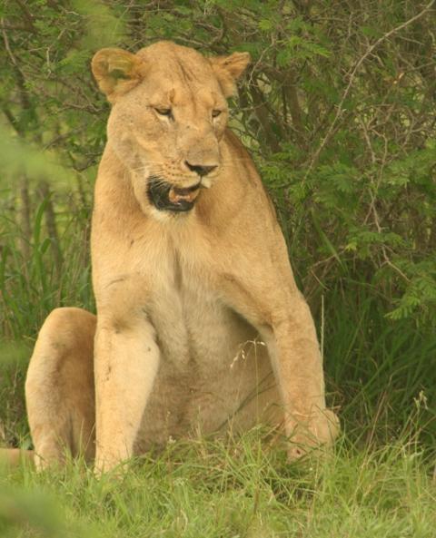 Lion sighting in Hluhluwe