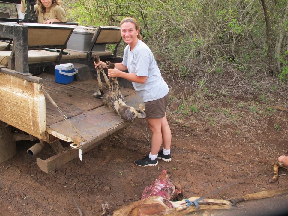 Stefanie assisting the capture team by loading a darted Wild Dog into the back of the truck.