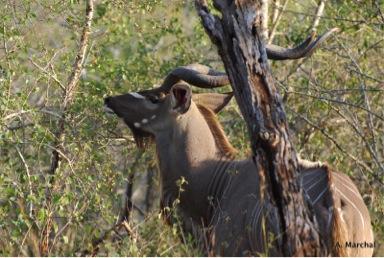 A greater kudu (Tragelaphus strepsiceros) male