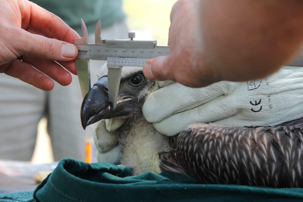 Measuring the vulture's beak.