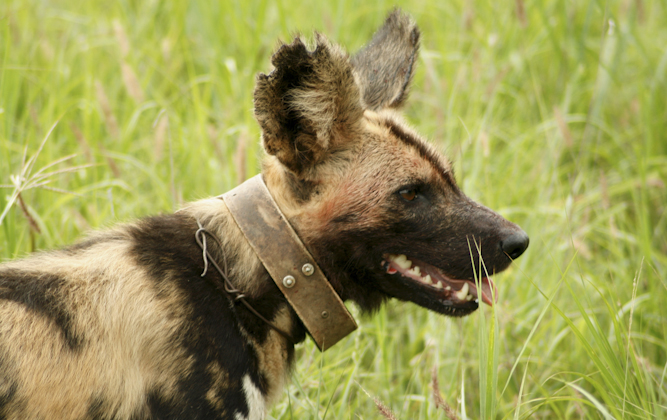 A Wild Dog with a loose snare around its neck.