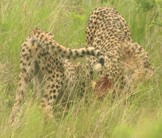 Sexing a cheetah in Hluhluwe
