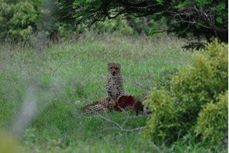 Cheetah on Mkhuze