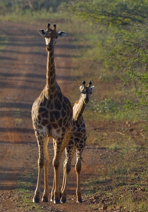 Are giraffe endangered? World Giraffe Day. Baby giraffe