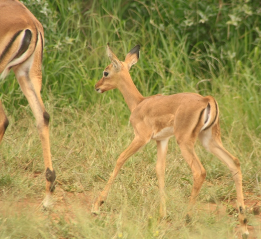 Baby impala with its mother