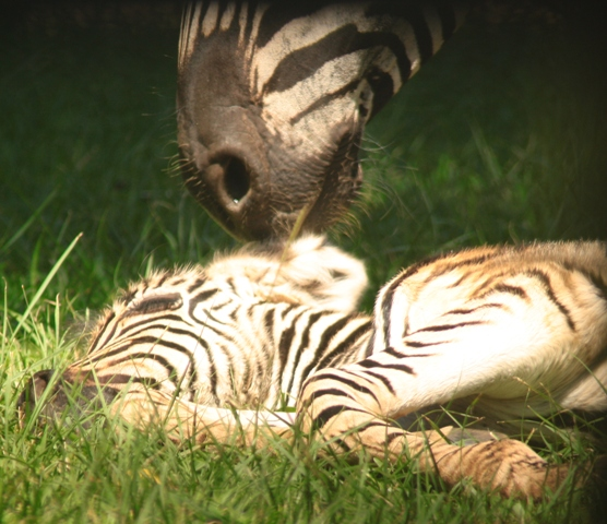 Baby zebra being nuzzled by its mother
