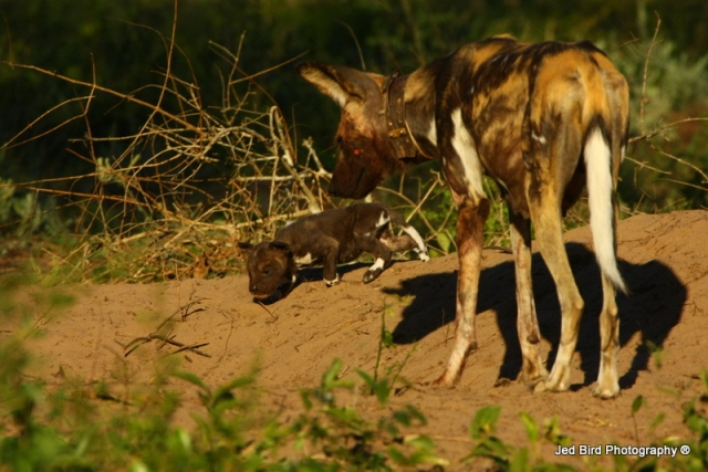 Tembe Wild Dog puppies