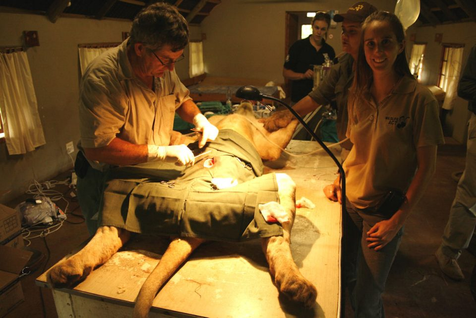 Michelle alongside the vet stitching up the lion