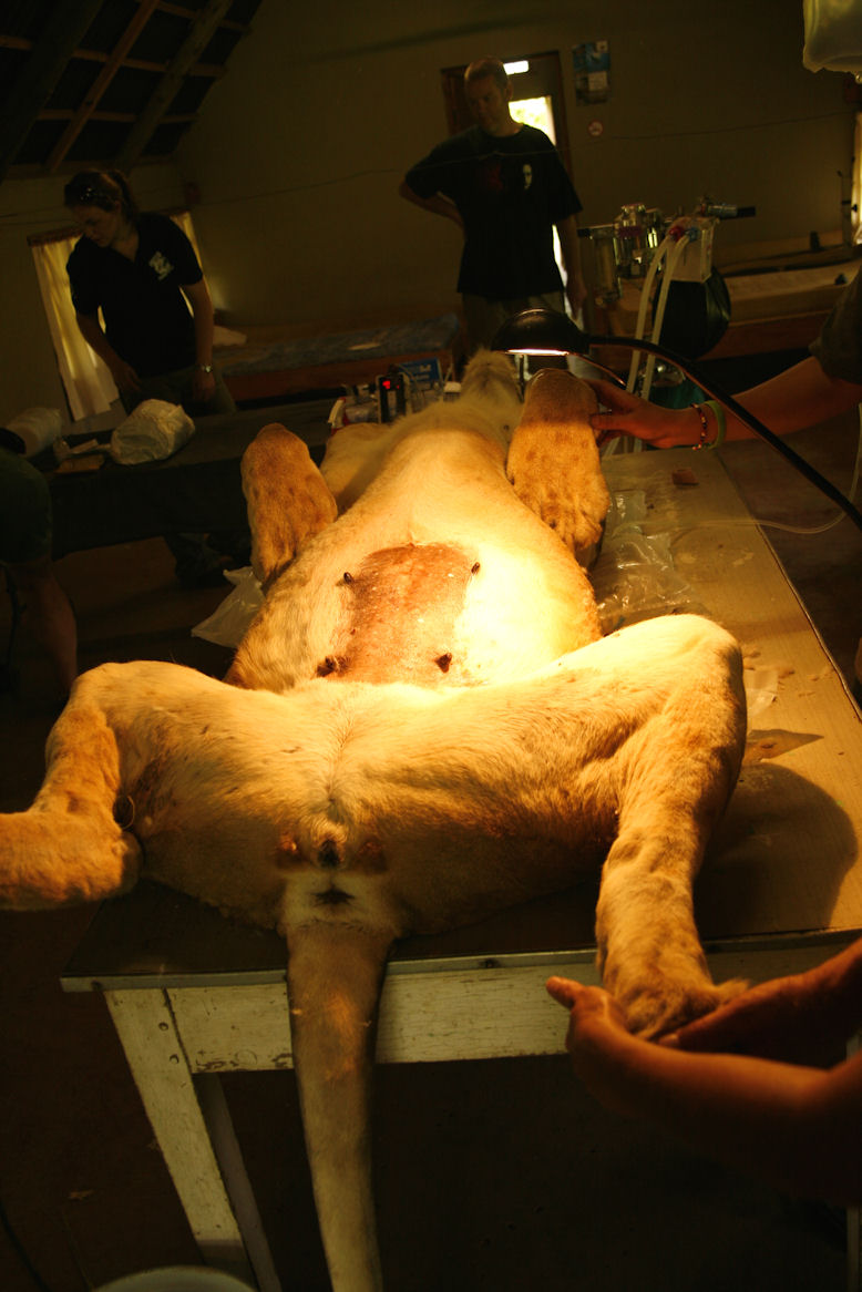 The Lion on the operating table