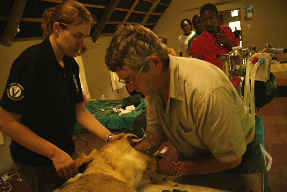 The vet inserting breathing tube