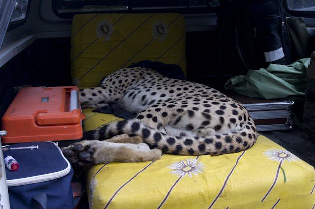 Our new cheetah about to wake up in the Boma