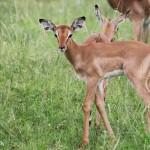 Baby impala