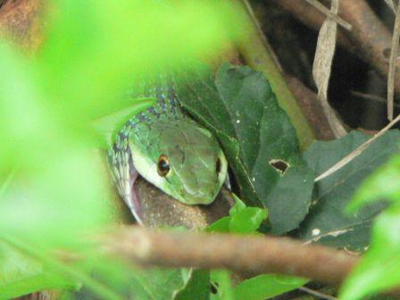 Spotted bush snake eating a skink